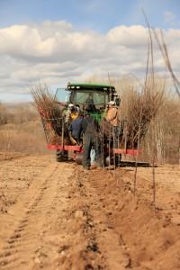 Tractor preparing soil to plant apple tree